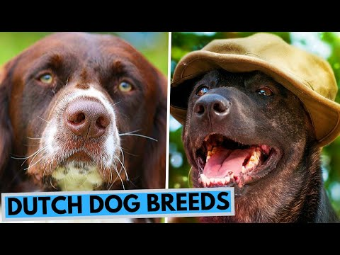 TOP 10 Dutch Dog Breeds List
