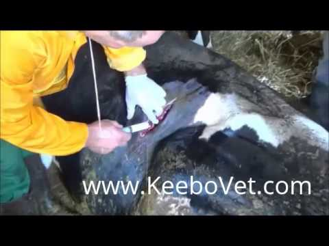 Rumenotomy In Cattle, Complete Surgery Performed By Veteranarian Doctor
