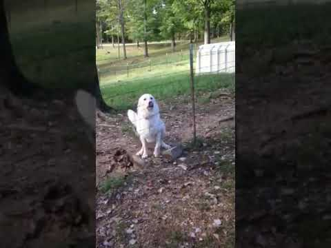 Maremma Sheepdog Allie, Age 2 A sweet Dog To Adopt Video #2