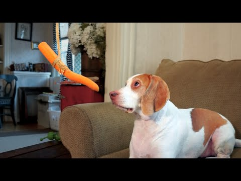 Dog Can't Catch Carrot on String: Cute Dog Maymo