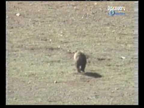 Rare Tibetan Brown Bear