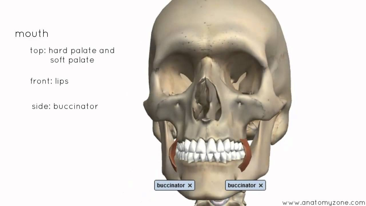 Introduction To The Digestive System Part 1 Mouth And Pharynx 3d