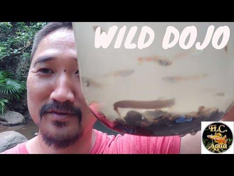 Catching Wild Dojo Loaches