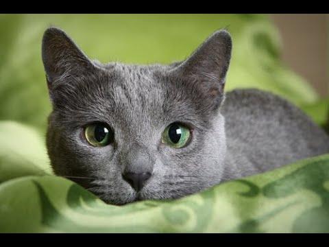 Russian blue cat - القطط الروسية الزرقاء
