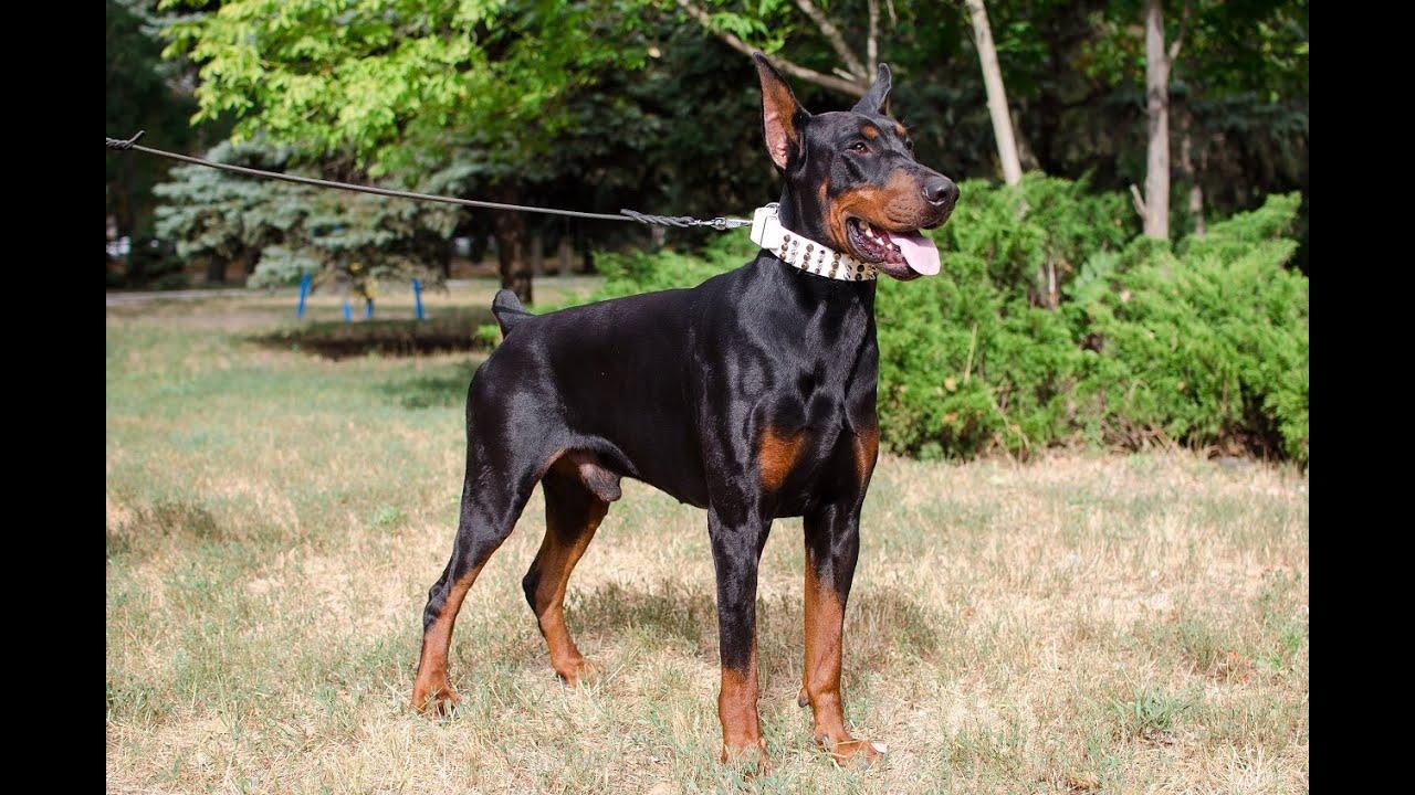 Best Dog Collar For German Shepherd