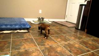 Wilson~5 Week Old Blind Boxer Puppy Needs Surgery **left Eye Removal**