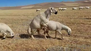KOÇ FENA ÇIKTI  kangal koçlama sürü aşım