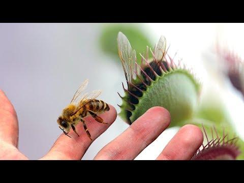 A Large Venus Flytrap VS a Bee