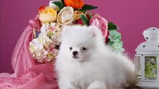 Фотографии собак породы шпиц , самые милые собаки  Шпиц