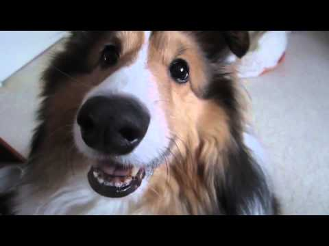 Sheltie Puppy Performs Tricks Happy New Year 2015 - shetland sheepdog