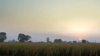 Beautiful landscape view of endless paddy field at the time of sunset in Delhi/NCR, India