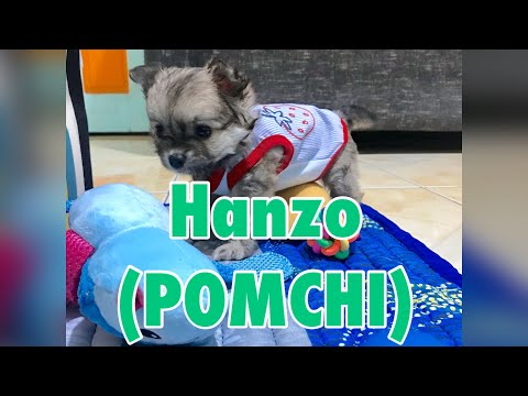 MEET OUR BABY HANZO | POMCHI MIX