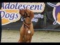 Ruben - Hungarian Vizsla - 4 Weeks Residential Dog Training