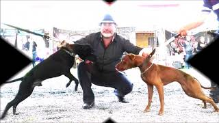 Evento American Pit Bull Terrier
