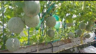 Dưa lưới sân thượng - Trái xum xuê , đếm không xuể !!!   Khoa Hien 7