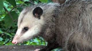 Virginia Opossum - HD Mini-Documentary