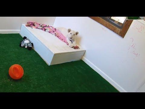 LunaCAM: Watch Texas' favorite white lion cub grow, play and SLEEP zzz
