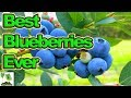 How To Grow Blueberries You Have Ever Seen (2018)
