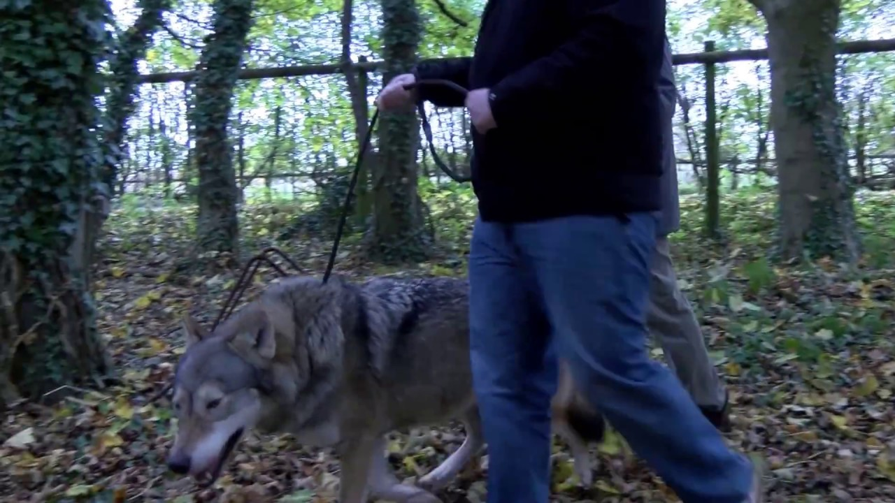 wolf encounter natasha youtube. Black Bedroom Furniture Sets. Home Design Ideas