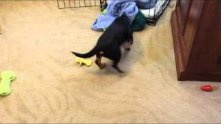 Toy Rottweiler Playing With A Bottle