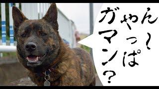 甲斐犬ハルヱが愛するブタちゃんボールのために様々な困難に立ち向かう...
