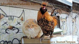 Siberian Cats Solnyshko and Pavlovskiy Rooster  Кот и Петух