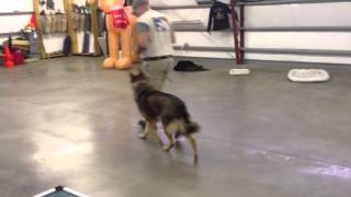 Sierra Sable German Shepherd For Sale Obedience Protection Trained