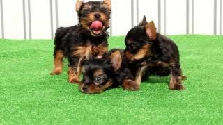 関西ヨークシャーテリア子犬販売→ http://www.at-breeder.net/yorkshire...