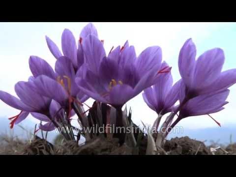 Saffron flowers ready for harvest in Srinagar - Crocus sativus