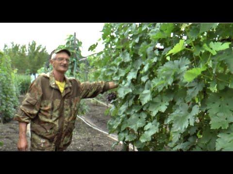 Экспедиция по виноградникам ДВ,  г. Лесозаводск, Устиненко А.А. 25 августа 2019 г.