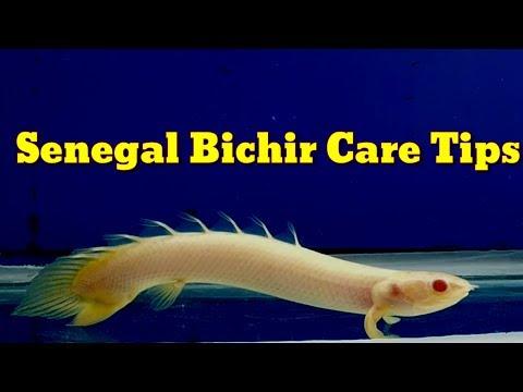Senegal Bichir Care Tips
