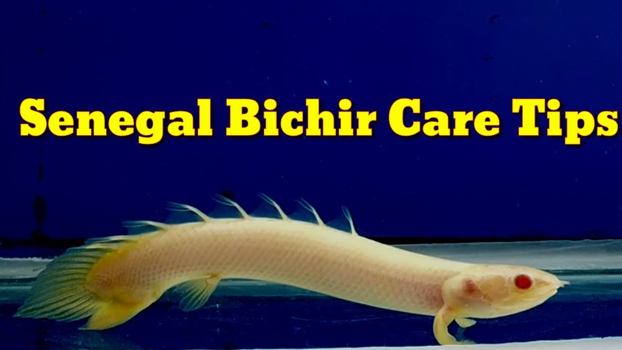 Senegal Bichir Care Tips Youtube