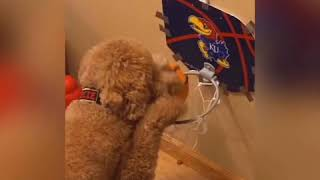 Basketball playing dog...