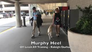 "2yo Labrador Retriever ""Murphy"" Before and After - Dog Training Raleigh Durham"