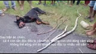 Clip chú chó cắn chết 4 rắn độc cứu chủ