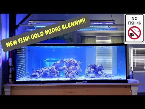Adding A Fish To The 230g - Midas Blenny