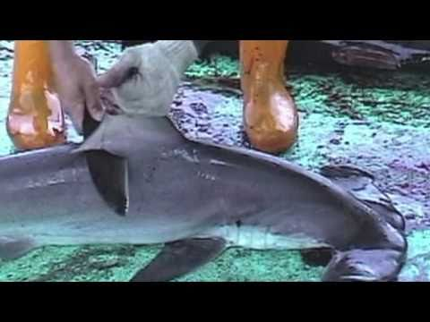 Over 73 Million Sharks Killed Every Year for Fins