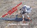 Elang Che Lm Berburu Biawak Predator Vs Predator Biawak Tidak Berdaya  Mp3 - Mp4 Download