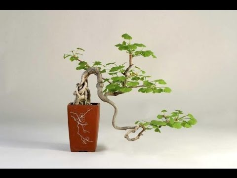 Gingko Biloba Raising Your Own Living Fossil Youtube