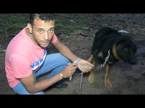 تدريب التتبع للأثر ' ريكس' كلب جيرمن يتتبع الرائحه واثار الاشياء والمخدرات والسلاح مع كابتن ابونور
