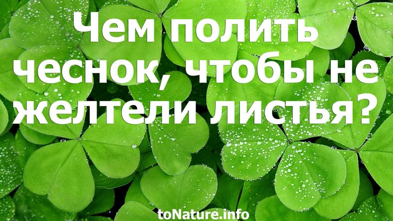 чем полить чеснок чтобы не желтели листья