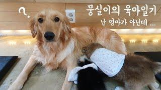 천사견 골든리트리버의 아기 강아지 육아일기 [멍뭉몽TV…