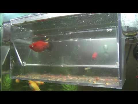Guppys embarazada dando a luz hd ii funnydog tv for Como criar peces koi