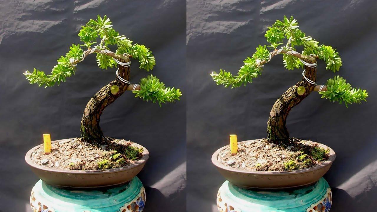 Kỹ thuật trồng cây Tùng La Hán và cách tạo thế bonsai mang lại tài lộc