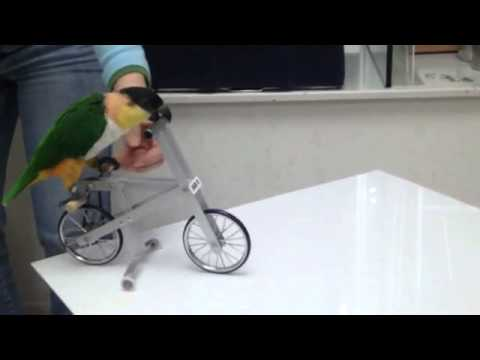 Caique   Riding bicycle under training   YouTube