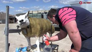 How to prep sheep for the showring