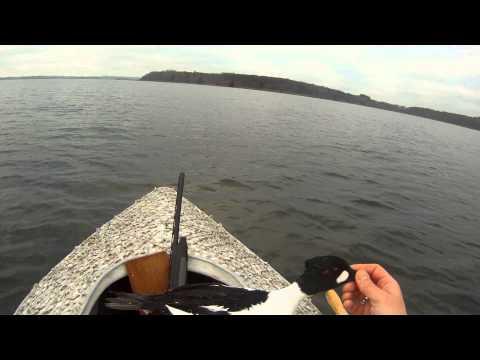 Duck Hunting Denmark, Goldeneys & Tufted Ducks.