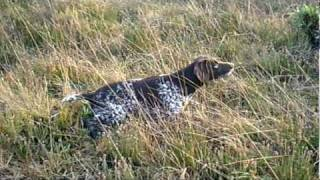 German Shorthaired Pointer Irish Field Trial Champion