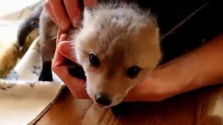 Second Chance For A Baby Fox (part 2)
