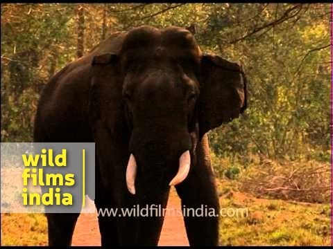 Warning! Large male elephant in Musth